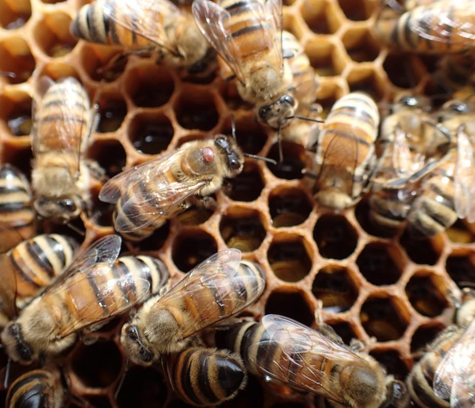 Honeybee-varroa