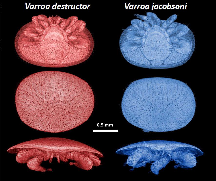 Varroa species